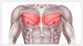 средняя часть грудных мышц